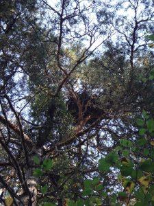 Aire du Circaète Jean-le-Blanc, sur un Pin sylvestre dans un vallon discret